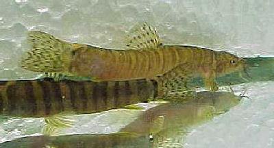 Ornate Tiger Sand Loach, Schistura kohchangensis