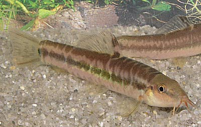 Rainbow Loach, Micronemacheilus Pulcher, Beautiful Hillstream Loach, Mountain Loach