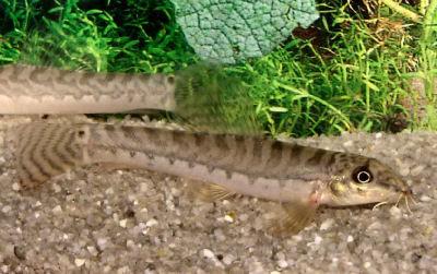 Zipper Loach, Acanthocobitis botia, Mottled Loach, Sand Loach