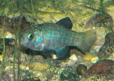 Desert Pupfish, Cyprinodon macularius