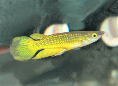 Fish Guides for Golden Wonder Killifish and other types of Tooth Carp, Pupfish, and Topminnows