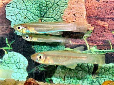 Lampeye Killifish, Aplocheilichthys kingii, Sobat Lampeye, African Lampeye