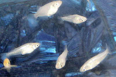 Japanese Rice Fish, Oryzias latipes, Moomlight Medaka silver color morph