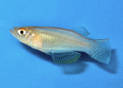 Variable Lampeye, Procatopus similis, Variable Lampeye Killifish, Nigerian Lampeye, Yellow Lampey