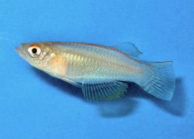 Variable Lampeye, Procatopus similis, Variable Lampeye Killifish, Nigerian Lampeye, Yellow Lampey