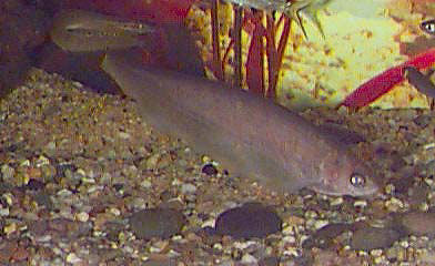 African Knife Fish, Xenomystus nigri, African Brown Knife Fish, Black Knifefish