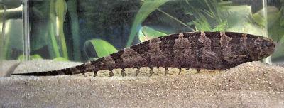 Centipede Knifefish, Steatogenys duidae