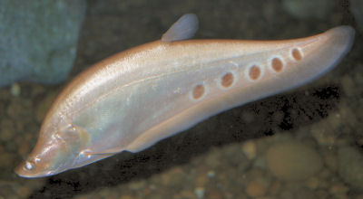 Clown Knifefish (albino), with Fish Guides for Knifefish - Orders: Osteoglossiforms and Gymnotiformes
