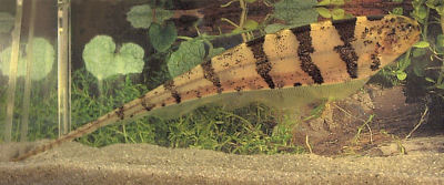 Picture of an Elegant Knifefish, also called the Barred Knifefish or Tiger Knifefish