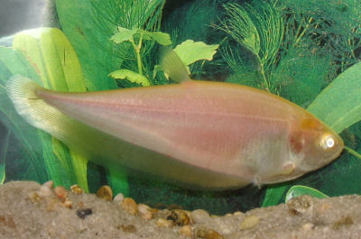 Bronze Featherback (albino), Notopterus notopterus, Grey Featherback, Asian Knifefish, Featherfin Knifefish