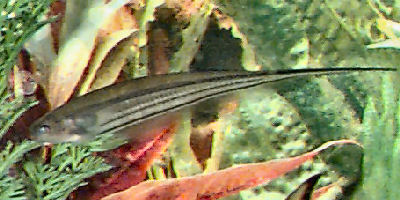 Glass Knifefish, Eigenmannia virescens, Green Knifefish, Transparent Knifefish