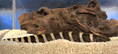 Zebra Knifefish, Gymnotus pedanopterus