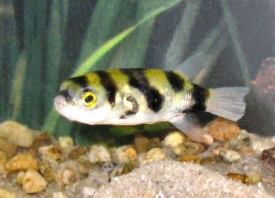 amazon puffer south american puffer fish bee puffer
