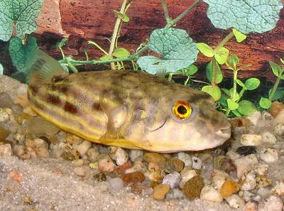 Fahaka Puffer, Tetraodon Lineatus, a freshwater Puffer Fish