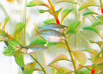 Australian Rainbowfish, Melanotaenia fluviatilis, Murray River Rainbowfish