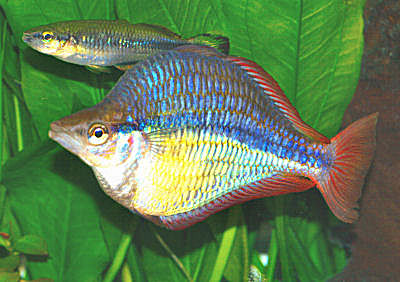 Banded Rainbowfish, Melanotaenia trifasciata, Goyder River Rainbowfish, Jewel Rainbowfish