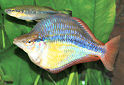 Animal-World info on Banded Rainbowfish