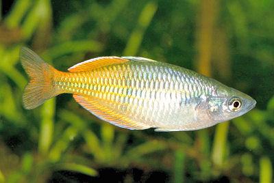 Boeseman's Rainbowfish, Melanotaenia boesemani, Bicolor Rainbow, Boesemani Rainbowfish