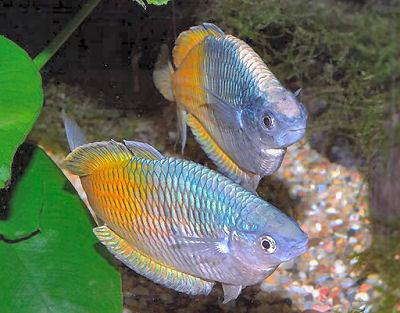 Boeseman's Rainbow Fish, Fish guides for rainbowfish species