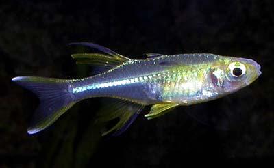 Celebes Rainbow Fish, Marosatherina ladigesi, Celebes Sailfin
