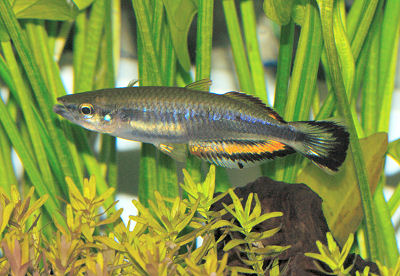 Madagascar Rainbowfish, Bedotia geayi, Red-Tailed Silverside, Madagascan Rainbow Fish