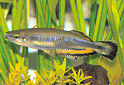 Animal-World info on Madagascar Rainbowfish