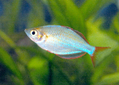 Dwarf neon rainbowfish melanotaenia praecox neon rainbowfish for Dwarf rainbow fish
