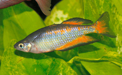Parkinson's Rainbowfish, Melanotaenia parkinsoni, Orange Rainbowfish