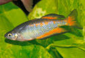 Click for more info on Parkinson's Rainbowfish