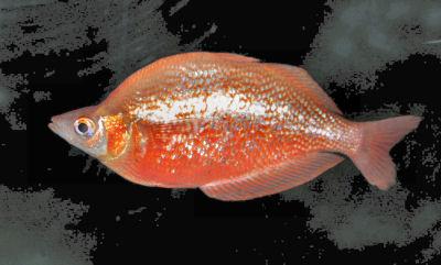 Red Rainbowfish, Glossolepis incisus, Salmon Red Rainbowfish, Red Irian Rainbowfish