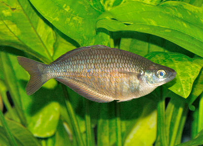 Sepik Rainbowfish, Glossolepis multisquamata, Rosy rainbowfish