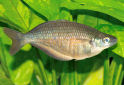 Sepik Rainbowfish Fact Sheet
