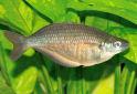 Click for more info on Sepik Rainbowfish
