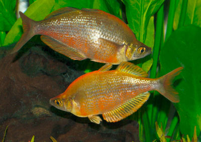 Millennium Rainbowfish, Glossolepis pseudoincisus, Tami River Rainbowfish, Lake Ifaten Rainbowfish