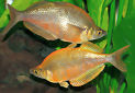Click for more info on Millennium Rainbowfish
