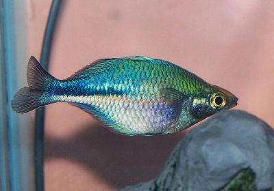 Lake Kutubu Rainbowfish, Melanotaenia lacustris, Turquoise Rainbowfish, Blue Rainbowfish
