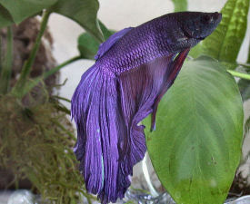 Delta Tail Betta, Blue