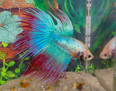 Betta or Siamese Fighting Fish, Betta splendens, Crown Tail Betta