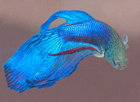 Veil Tail Betta - Royal Blue