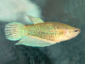 Betta or Siamese Fighting Fish - female