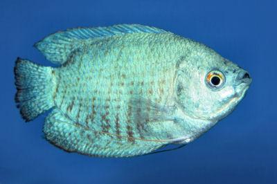 Powder Blue Dwarf Gourami, Coral Blue Dwarf Gourami, Trichogaster lalius cf
