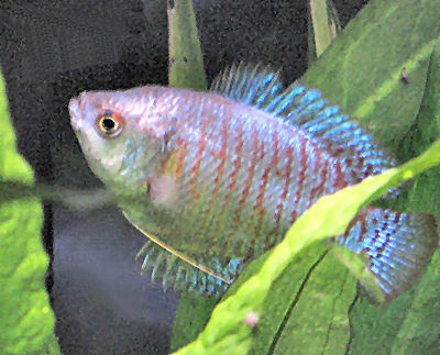 how to tell the sex of a dwarf gourami fish