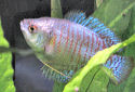 The Dwarf Gourami