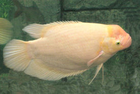 Giant Gourami - male