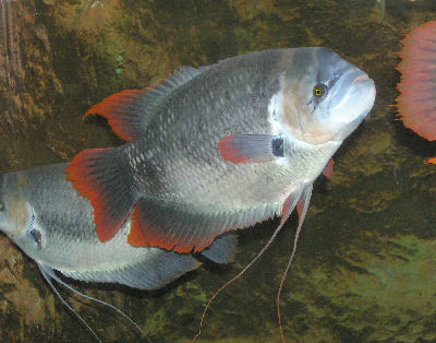 Giant Red Tailed Gourami, Osphronemus laticlavius, Giant Red Finned Gourami, Red Flag Giant Gourami