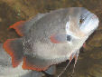 Click for more info on Giant Red Tail Gourami