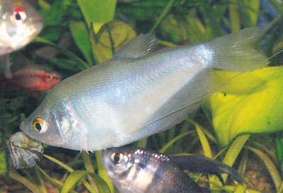 Moonlight Gourami, Trichopodus microlepi, Moonbeam Gourami (previously Trichogaster microlepis)