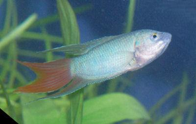 Paradise Fish, Fish Guides for Labyrinth Fish Species