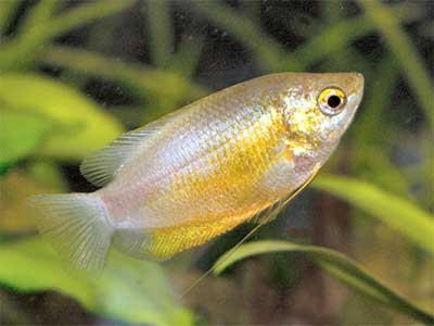 Thick Lipped Gourami, Trichogaster labiosa, Sunset Thicklip Gourami (Colisa labiosa)