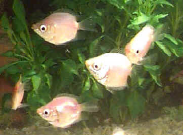 Balloon Pink Kissing Gourami, Helostoma temminkii variety, Dwarf Kissing Fish